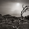 The Coveting. Weathered Juniper and dusting of snow, Capitol Reef, N.P. Black and white Duotone