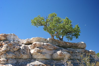 Juniper, North Rim Grand Canyon