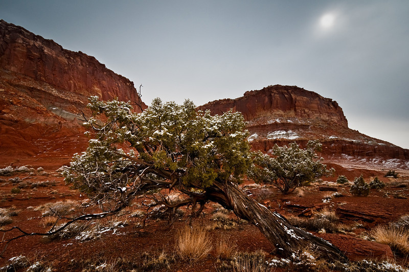 Fresh dusting of Spring snow on weathered juniper, Capital Reef N.P. Utah