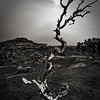 The Serpent Tree. Weathered Juniper, Capitol Reef, N.P. Utah.
