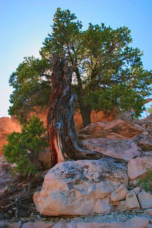 Twisted Juniper, North Rim Grand Canyon