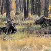 2016-10-09_Tetons_Gros Ventre_Moose_5.JPG<br /> <br /> This family of moose hung out in the Gros Ventre Campground most days.  Unfortunately, the male with his big antlers was not there when we went looking so we just saw Mama and baby.