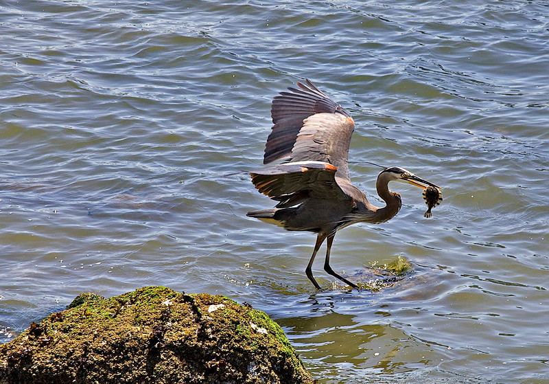 GREAT BLUE HERON FLOUNDER FISHING