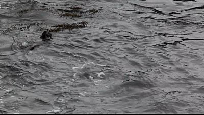 A 23s clip. Point Lobos State Nature Reserve, Carmel, CA: 5dmkii video of a Southern Pacific Sea Otter doing what it does best.