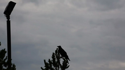 West Yellowstone, MT: Raven at day break