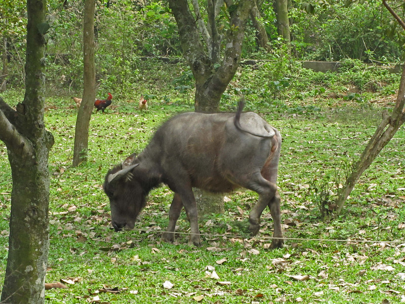 10-A tethered water buffalo on the temple grounds