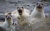 Caught in the Act - Elephant Seals on San Simeon Beach - Photo by Pat Bonish
