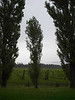 Aspen (?) trees lining the orchard, Ile d'Orleans