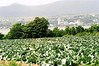 Cabbage field on the island, with St. Anne de BeauPre Cathedral across St. Lawrence Seaway