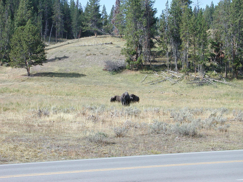 Buffalo is the common name (misused by the pioneers) and it stuck.  Actually they are Bison bison (the technical name).  Saw hundreds.  Saw them every day in Yellowstone.