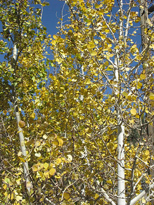 Aspens became our favorite tree.  This tree is in the parking lot at the Visitor Center in the Heritage Museum of Idaho Springs along I-70.