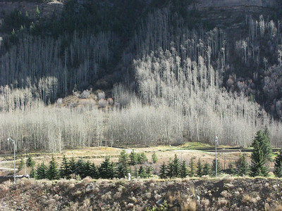Aspen groves create a special look even when they are bare.
