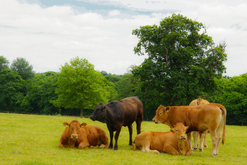 Blarney Stone Cow Family Residents