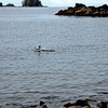 A salmon jumps out of the water at Halibut Point Park.