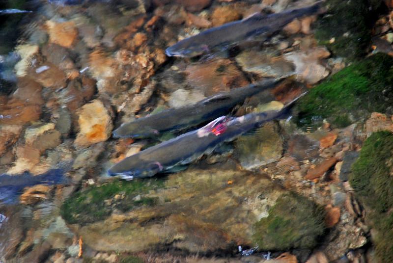 Salmon in Ketchikan Creek.
