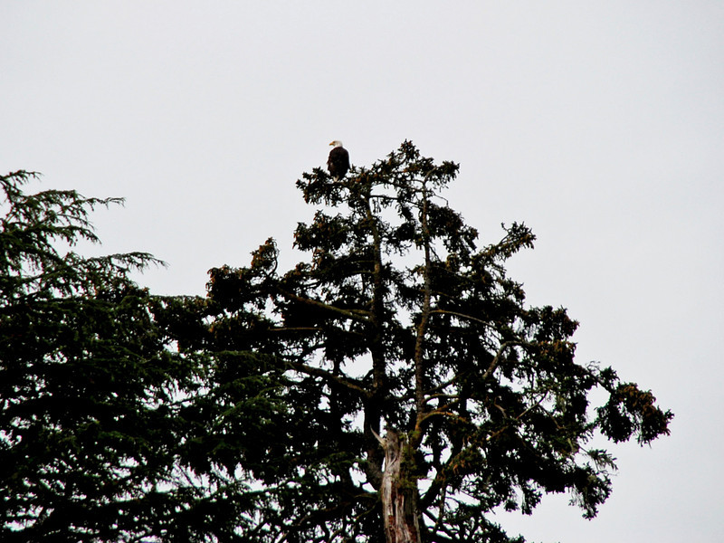 An eagle near Halibut Point State Recreation Site.