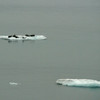 Seals on the ice in the Gulf of Alaska.
