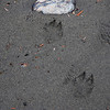 Animal tracks on the shore of Halibut Point State Recreation Site.