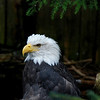 Bald eagle at Deer Mountain Tribal Hatchery & Eagle Center.