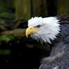 Bald eagle at Deer Mountain Tribal Hatchery & Eagle Center.