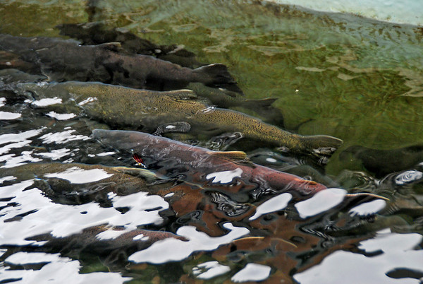 Salmon at the Deer Mountain Tribal Hatchery & Eagle Center.