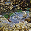 Sealife in the tidal pools at Halibut Point State Recreation Site.