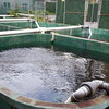 The hatchery tanks at Deer Mountain Tribal Hatchery & Eagle Center.
