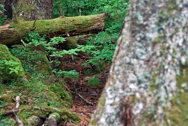 On the trail in the spruce and hemlock coastal forest at the Halibut Point State Recreation Site.