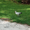 Chickens run wild in Bermuda.