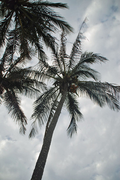 Palm tree (with coconuts).