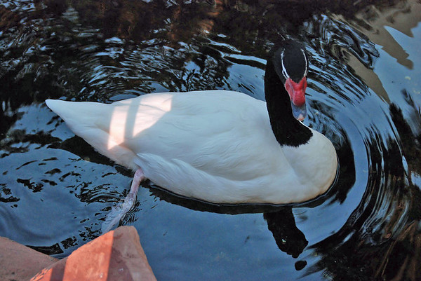 A duck at the wildlife habitat at the Flamingo Hotel.