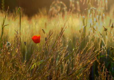 Poppy in barley, Val d'orcia, Toscono