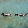 Duck race....