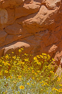 Brittle Brush ~ This common desert plant and flower, Brittle Brush, looked especially pretty with their bright yellow flowers against the red sandstone rocks.  Valley of Fire, Nevada.