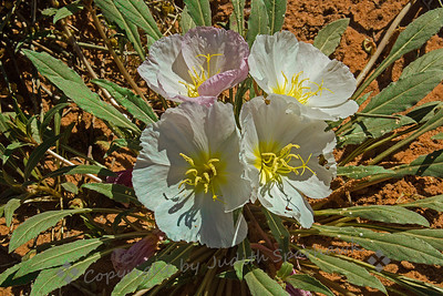 Desert Wildflowers ~ Springtime in the desert, with wildflowers in bloom.  Thanks Rick; this is Evening Primrose.