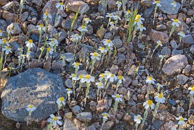 "Belly Flowers ~ These tiny desert flowers were only about 1 inch tall, otherwise called ""belly flowers"" as you practically have to be down on your belly to photograph them.  They were growing en masse, right out of the rocky soil.  Valley of Fire, Nevada."