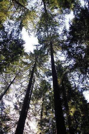 Look up Rusty.  Way up!     Tall trees in Lynn Canyon Park.