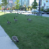 Canadian geese?