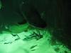 Dicker Fisch mit Glubsch-Auge