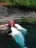 Beluga-Fütterung