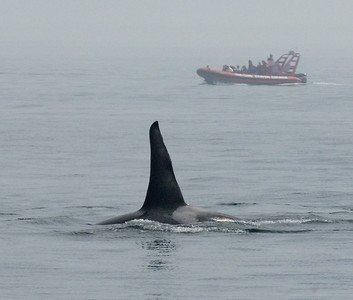 Plenty of Orca's around.