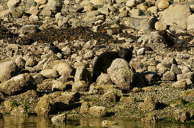 At low tide, black bears come looking for crabs.