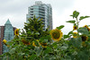 Sunflowers in Stanley Park