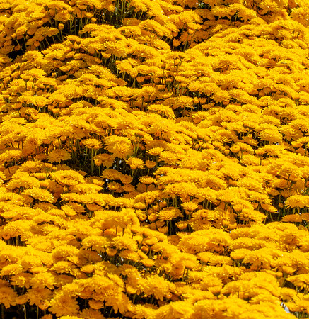 A Profusion of Yellow