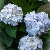 3 White Hydrangeas