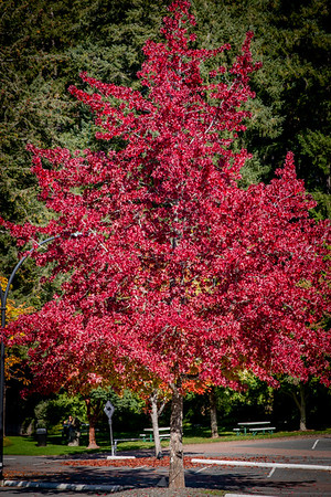 Red colors of Fall, in Vancouver