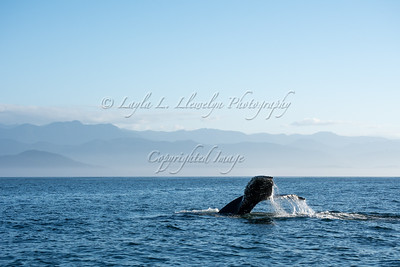 Dive! Dive! Dive! | Humpback Whale: Spotted!
