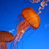 Jellyfishes, Aquarium
