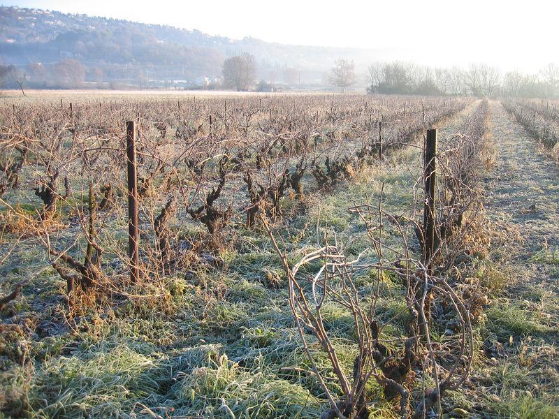 Vines in the valley in Callian