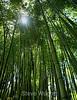 Bamboo - Hakone Garden (18) D